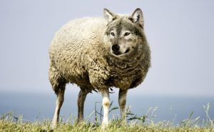 is this a wolf, dog or sheep