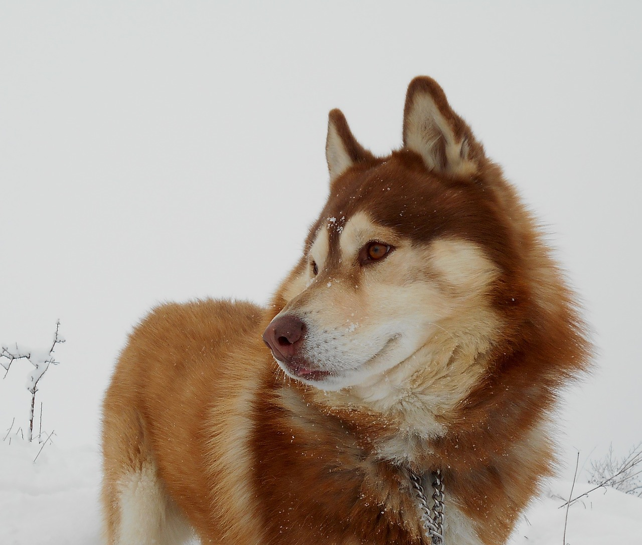 siberian husky, dog, pet