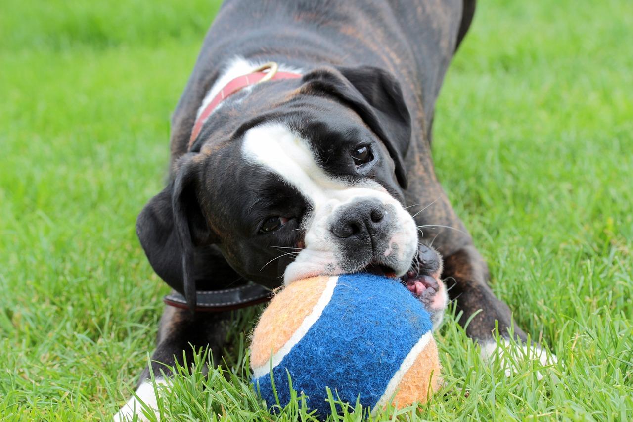 dog, boxer, black and white